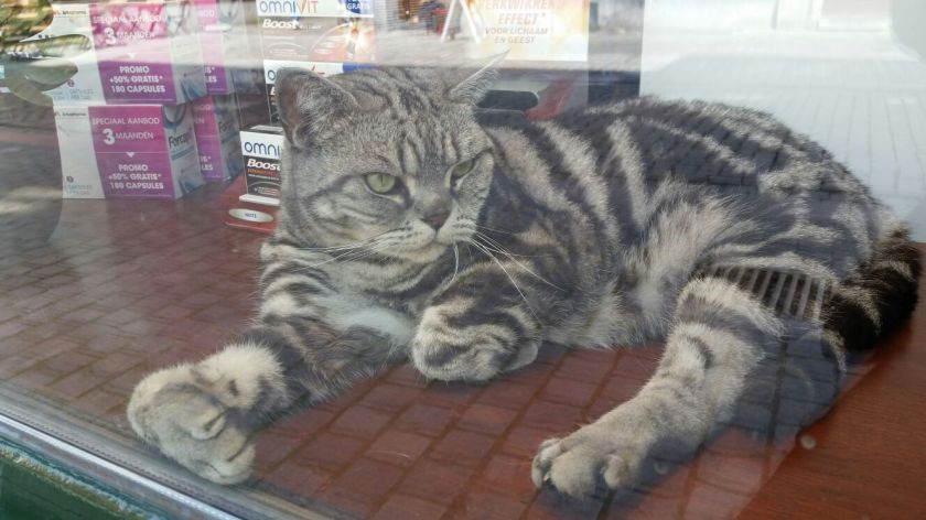 This cat was in the store front window...how cute is that!  Has a flat face...wonder what it is?